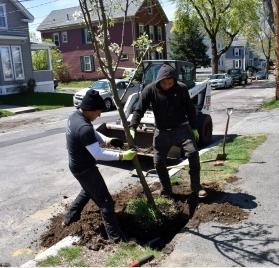 Planting Utility-friendly Trees